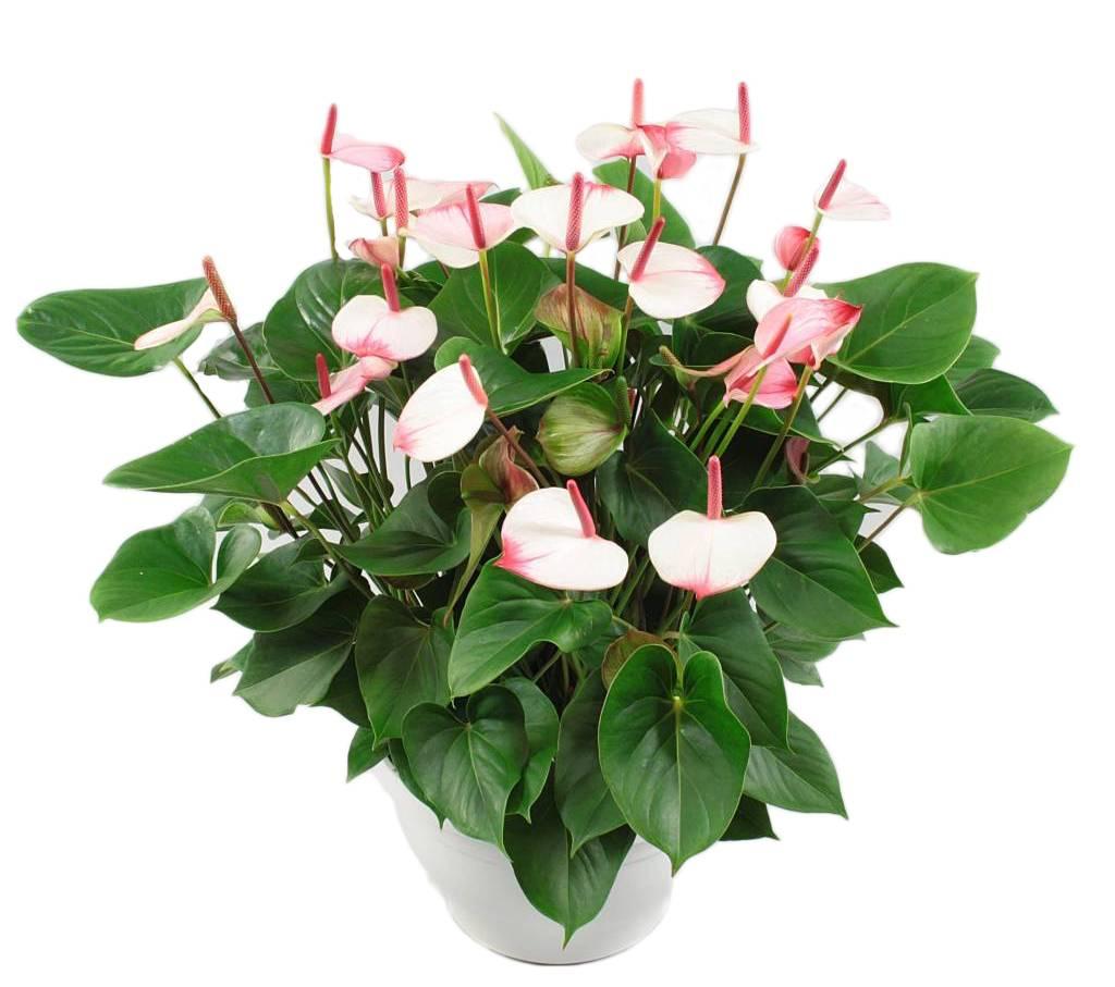 Anthurium Bowl Xl Tough And Timeless Florastore