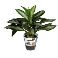 Aglaonema Aglaonema Diamond Bay P 17