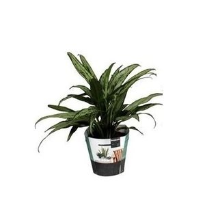 Aglaonema Cutlass P 14