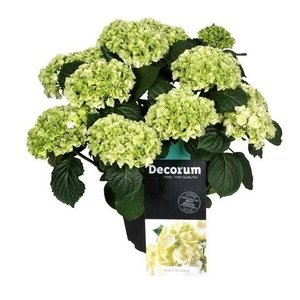 Hydrangea  White 10 to 15 flower buds