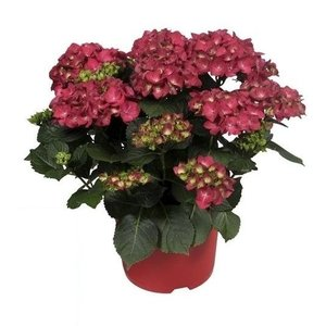 Hydrangea  Red 10 to 15 flower buds in ornamental pot