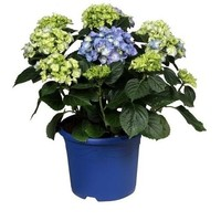 Hydrangea  Blue 10 to 15 buttons in colored pot