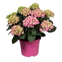 Hydrangea  Pink 10 to 15 buds in colored pot