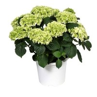 Hydrangea  White 10 to 15 buds in colored pot
