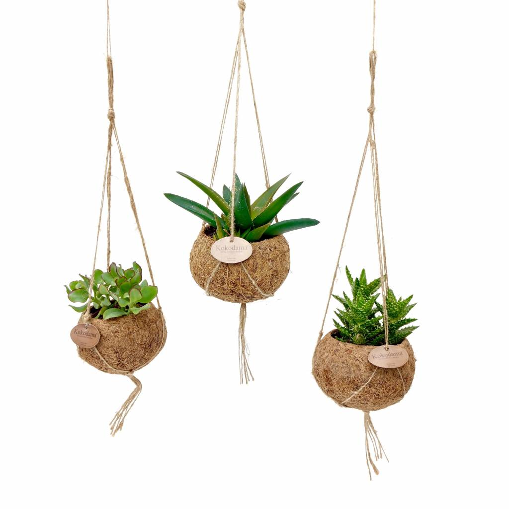 kokodama succulents mixed 8 kinds of hanging florastore. Black Bedroom Furniture Sets. Home Design Ideas