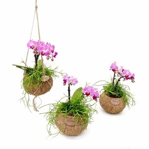 Kokodama Phalaenopsis Orchidee Dschungel