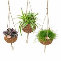 Kokodama Cinq types mixtes houseplants verts