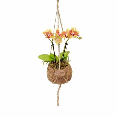 Kokodama Phalaenopsis mini 2 branch hangs