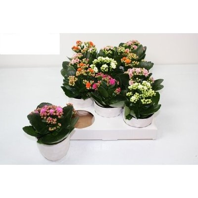 Kalanchoë double-flowered mixed in ceramics