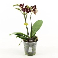 Phalaenopsis 2 Zweig bellinzona