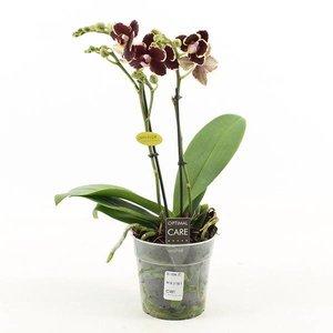 Phalaenopsis 2 tak bellinzona