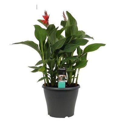 Canna Island extra met bloem