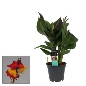 Canna Ile 17cm avec fleur