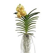 Vanda Yellow Henna 70 cm