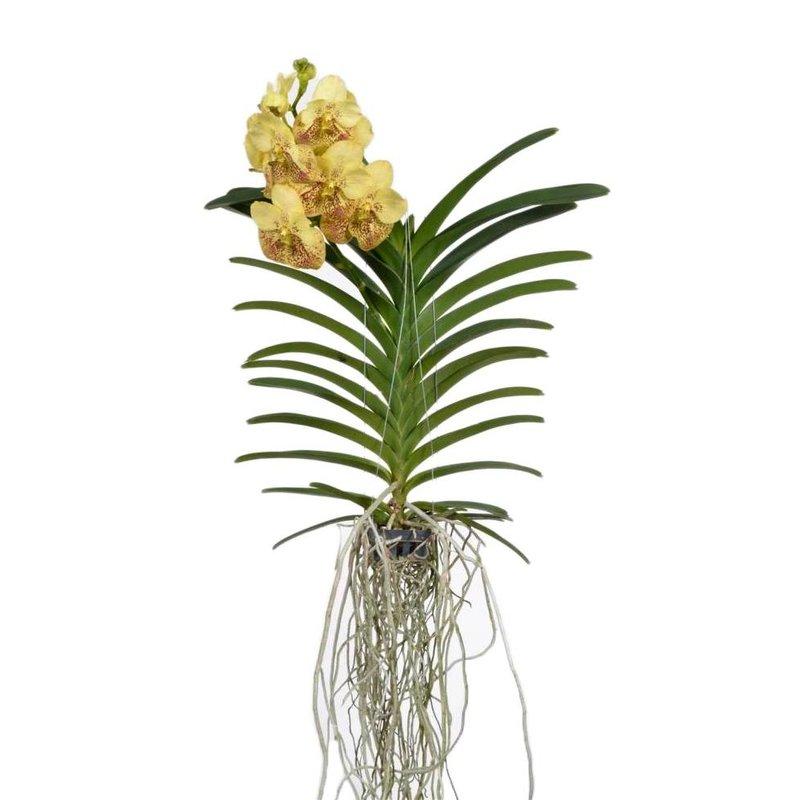 Vanda Yellow Henna 70 Cm Florastore