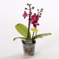 Phalaenopsis Miniflora 2 Zweig duftend