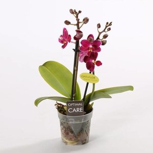 Phalaenopsis Mini Flora zweiter Zweig duftend