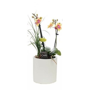 Phalaenopsis Mini 2 tak + nolina in keram. wit