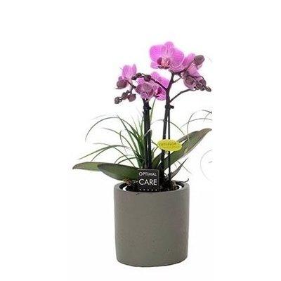 Phalaenopsis 2 + nolina Zweig in grauen Topf