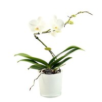 Phalaenopsis 1 branch balletto white in style glass