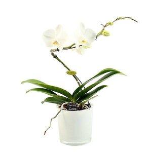 Phalaenopsis 1 tak balletto white in style glass