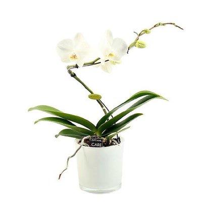 Phalaenopsis 1 Zweig balletto in der Farbe weiß Glas