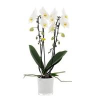 Phalaenopsis Phalaenopsis 2 Zweig Cascade 12 cm weiße