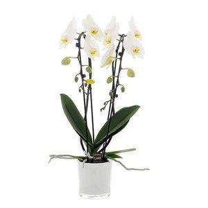 Phalaenopsis 2 Cascade branche 12 cm blanc