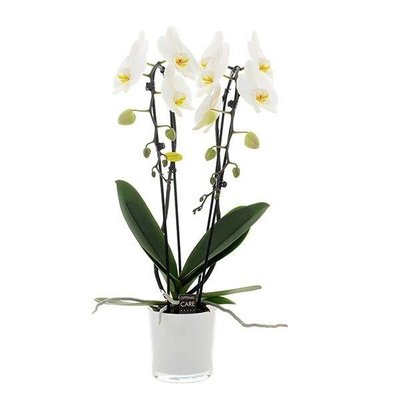 Phalaenopsis Phalaenopsis 2 tak Cascade 12 cm wit
