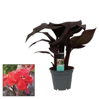 Canna Island 17cm with flower