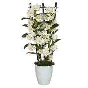 Dendrobium Nobilé, Classic '' Botanic Creation '' two-branch