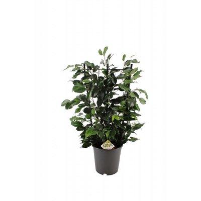 Ficus Danielle auf Rack