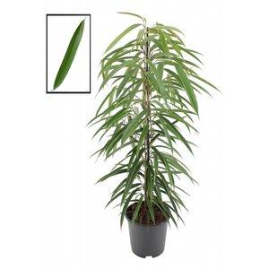 Ficus insideendiiii Alii