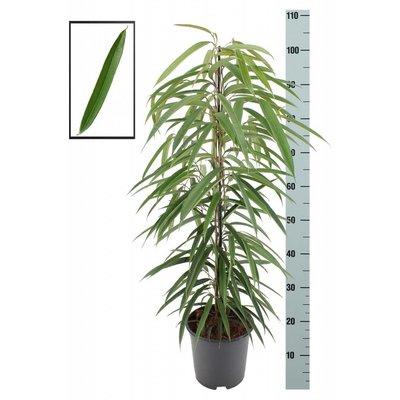 Ficus Binnenendijckii Alii