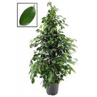 Ficus benjamina XL Danielle