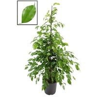 Ficus Benjamina Exotica XL