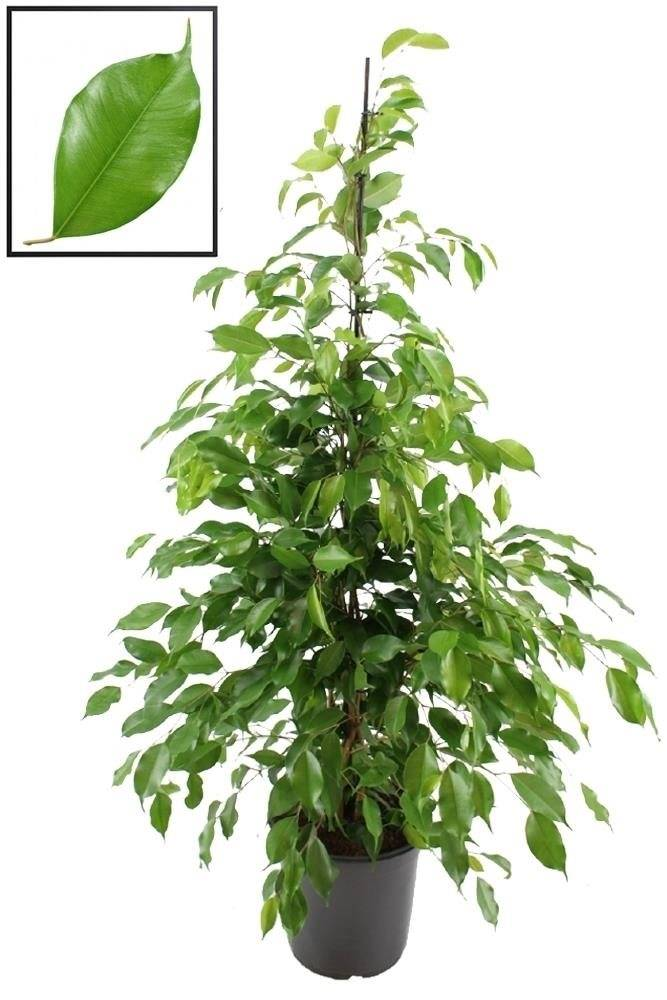ficus benjamini ficus benjamina wikipedia ficus benjamina 39 natasja 39 potted plant weeping. Black Bedroom Furniture Sets. Home Design Ideas