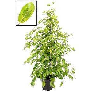 Ficus Benjamina Reginald XL