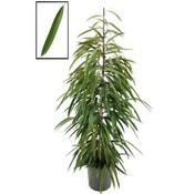 Ficus Binnenendijckii Alii XL