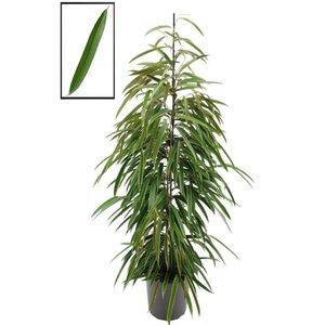 Ficus Binnendijckii Alii XL