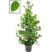 Ficus microcarpa moclame XL