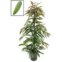 Ficus binnendijckii Amstel roi XL