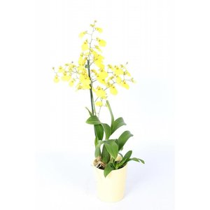 Bijzondere Orchideeën Oncidium Munsterland in yellow ceramics