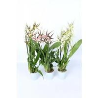 Bijzondere Orchideeën Mix 2 Zweig