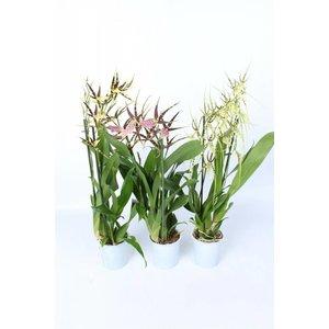 Bijzondere Orchideeën Brassia mix 2 branche