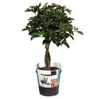 Schefflera Schefflera compacta (nora) gevlochten stam