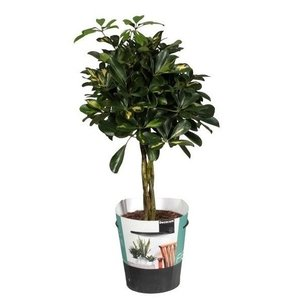 Schefflera gold capella braided trunk