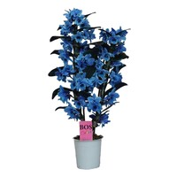 Dendrobium Nobilé, Color '' Blue '' two-branch