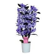 Dendrobium Dendrobium nobile, Farbe '' Purple 'zweiter Zweig