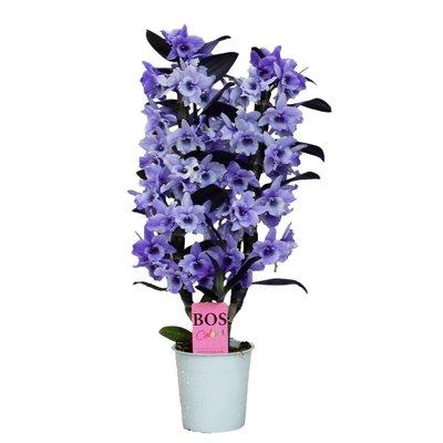 Dendrobium Dendrobium nobile, deuxième branche 'Purple »' Couleur